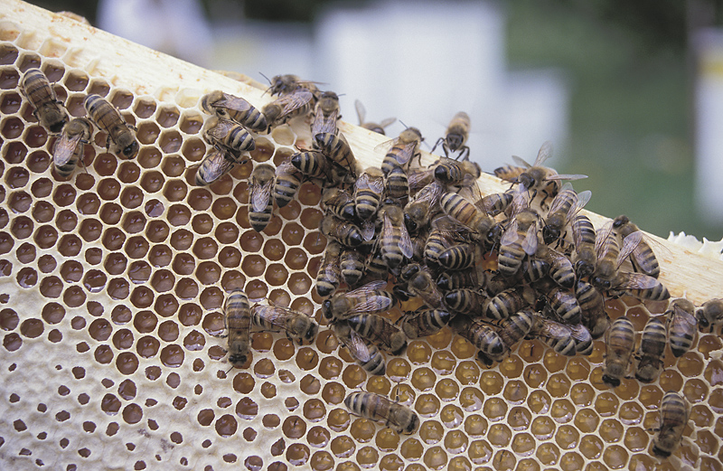Beekeeper pleads guilty to bee theft