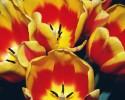 generic tulips