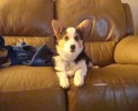 molly the corgi