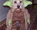 yoda dog