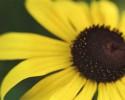 generic sunflower nature innocence etc