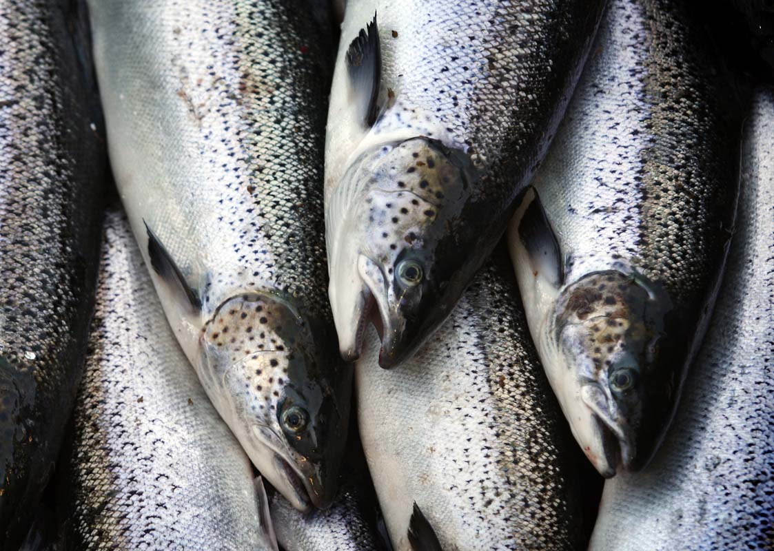 Washington pleads for anglers to snag escaped Atlantic salmon